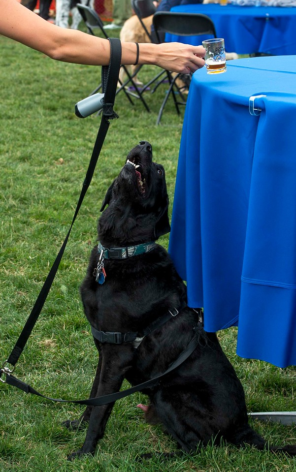 Guinness eyes his owner's Samuel Adams Oktoberfest as she puts it down on the beer garden table at Pawtoberfest 2017 in Bear Creek Regional Park in Colorado Springs, Colo. on Saturday, Sept. 16, 2017. Guinness' owner Morgan Fox named him and her other dog, Stella, after beers.<br /> <br /> (The Gazette, Nadav Soroker)