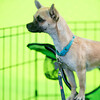 Spice looks out from a chair at The Misfits Dog Rescue booth at Pawtoberfest 2017 in Bear Creek Regional Park in Colorado Springs, Colo. on Saturday, Sept. 16, 2017. Spice was one of the puppies available for adoption at the booth.<br /> <br /> (The Gazette, Nadav Soroker)