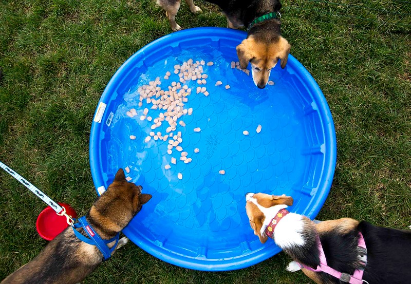 Derby, top, Django, left, and Molly fish for hot dogs in a pool full of water at Pawtoberfest 2017 in Bear Creek Regional Park in Colorado Springs, Colo. on Saturday, Sept. 16, 2017. Molly is a veteran hot dog retriever and has been to three Pawtoberfests, while Derby and Django moved to Colorado Springs one year ago.<br /> <br /> (The Gazette, Nadav Soroker)
