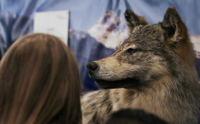 Students look at a gray wolf on display in the Wyoming Animal Management Damage Board trailer at the Laramie County Ag Expo which exposes fourth graders from all the Laramie County Schools to agriculture and where their food comes from Tuesday, September 17, 2019 at the Archer Complex.