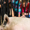 Cadence Cooper, 9, Isabella Osterman, 9, and Jace Franzen, 10, pet a large sow from the East High School FFA chapter at the Laramie County Ag Expo which exposes fourth graders from all the Laramie County Schools to agriculture and where their food comes from Tuesday, September 17, 2019 at the Archer Complex.