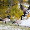 Geese take flight from the snowy shores of Sloan Lake Thursday, October 10, 2019 in Cheyenne. Up to four inches of snow fell across Cheyenne according to the National Weather Service. Nadav Soroker/Wyoming Tribune Eagle