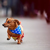 Lucy races to a first place finish in the third heat of the Dogtoberfest Weiner Dog race, Saturday, Oct. 19, 2019 at Freedom's Edge Brewing Company. Nadav Soroker/Wyoming Tribune Eagle