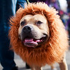Luca , a fierce lion, takes second place in the Dogtoberfest costume contest, Saturday, Oct. 19, 2019 at Freedom's Edge Brewing Company. Dexter was adopted from the Cheyenne Animal Shelter several years prior. Nadav Soroker/Wyoming Tribune Eagle