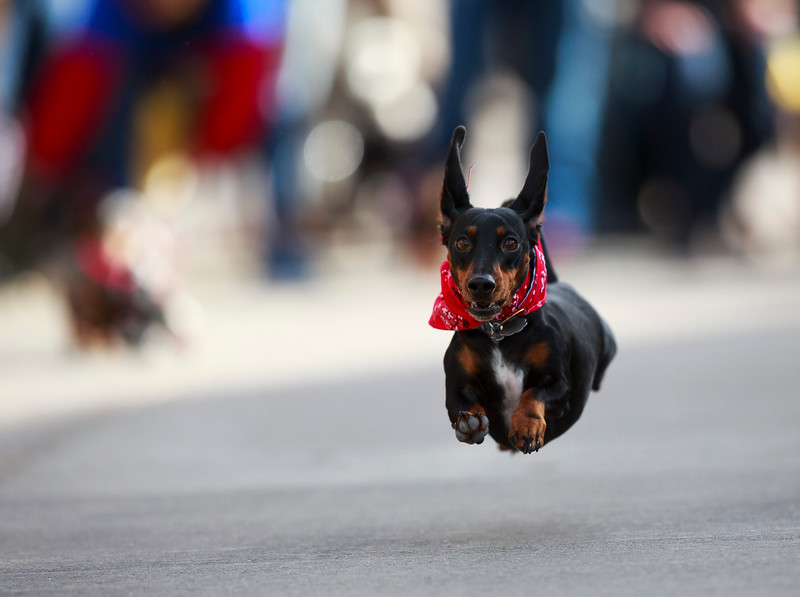 Slinky flies to a first place finish in the finals of the Dogtoberfest Weiner Dog race, Saturday, Oct. 19, 2019 at Freedom's Edge Brewing Company. Nadav Soroker/Wyoming Tribune Eagle