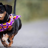 Tiny Boo races to a first place finish in the fourth heat of the Dogtoberfest Weiner Dog race, Saturday, Oct. 19, 2019 at Freedom's Edge Brewing Company. Nadav Soroker/Wyoming Tribune Eagle