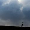 A deer bounds over the horizon Monday, Oct. 21, 2019 along County Road 210. Nadav Soroker/Wyoming Tribune Eagle