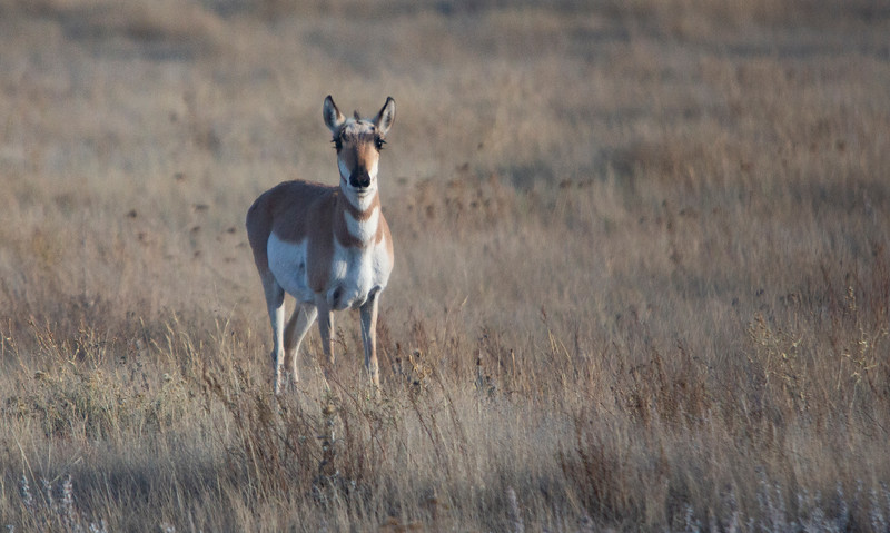 An antelope stands in a field Monday, Oct. 21, 2019 along State Road 210. Nadav Soroker/Wyoming Tribune Eagle