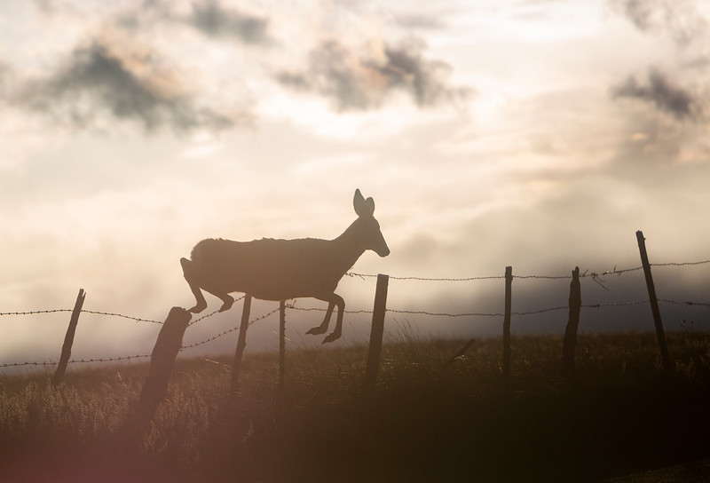 A deer bounds over a roadside fence Monday, Oct. 21, 2019 along State Road 210. Nadav Soroker/Wyoming Tribune Eagle