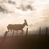 A deer bounds over a roadside fence Monday, Oct. 21, 2019 along State Road 210. Nadav Soroker/Wyoming Tribune Eagle
