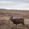 A deer walks through a field near Pine Grove Monday, Oct. 21, 2019 by Crystal Reservoir. Nadav Soroker/Wyoming Tribune Eagle