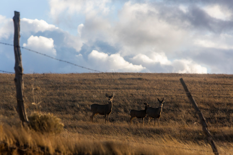 Deer stand at alert as the sun sets Monday, Oct. 21, 2019 along County Road 210. Nadav Soroker/Wyoming Tribune Eagle