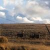 Deer stand at alert as the sun sets Monday, Oct. 21, 2019 along County Road 210. Nadav Soroker/Wyoming Tribune Eagle