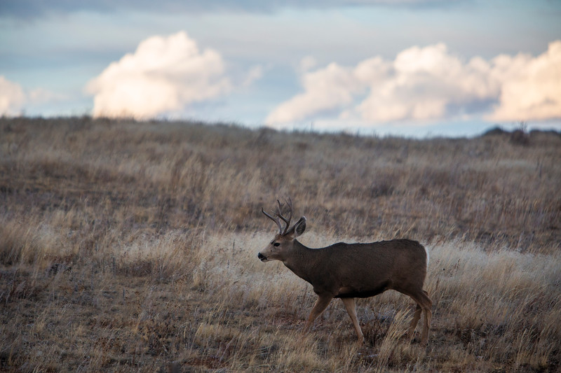 A deer walks through a field near Pine Grove Monday, Oct. 21, 2019 by Crystal Reservoir. Nadav Soroker/Wyoming Tribune Eagle
