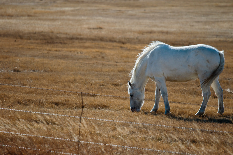 A gray horse grazes in the warm fall weather Monday, Nov. 18, 2019 south of Cheyenne. Nadav Soroker/Wyoming Tribune Eagle