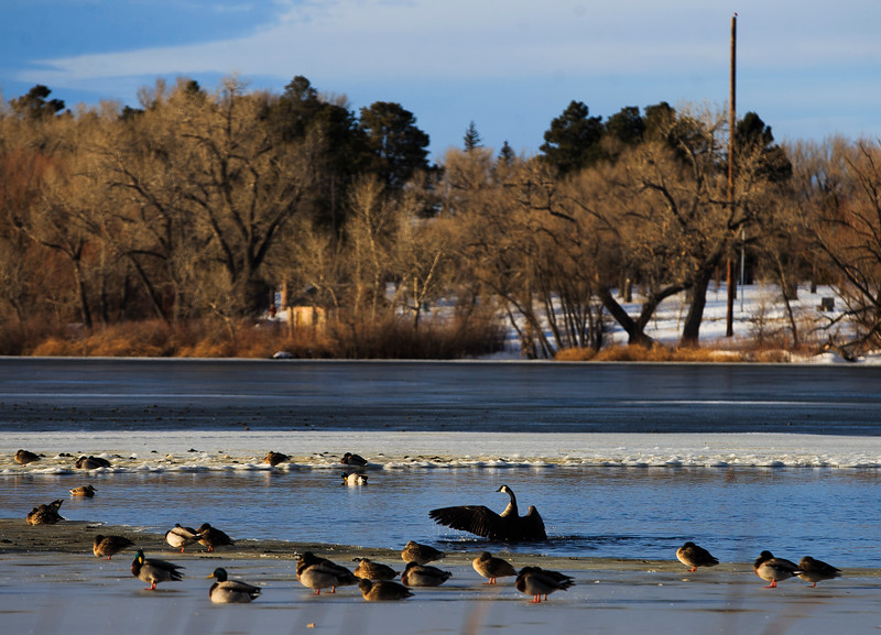 A goose flaps its wings amidst a flock of water-fowl at the small un-frozen area of Sloan Lake Monday, Dec. 2, 2019 at Lions Park. After a week of snowstorms Cheyenne should experience a mild, snow-free week according to the National Weather Service. Nadav Soroker/Wyoming Tribune Eagle