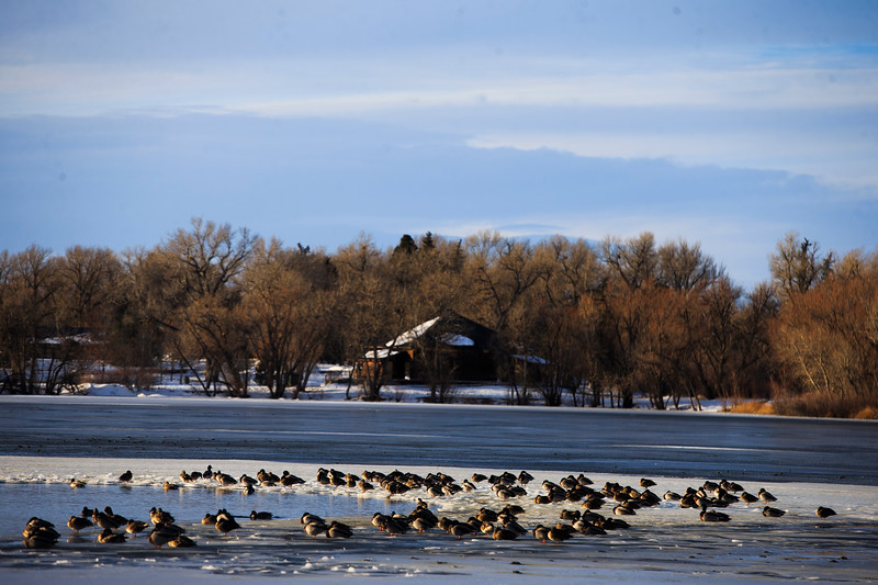 A large flock of water-fowl gather around the small un-frozen area of Sloan Lake Monday, Dec. 2, 2019 at Lions Park. After a week of snowstorms Cheyenne should experience a mild, snow-free week according to the National Weather Service. Nadav Soroker/Wyoming Tribune Eagle