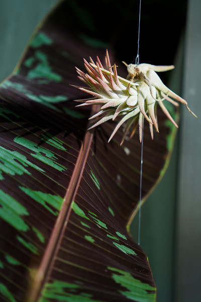 Light shines on a plant and blood banana leaf in the Williams Conservatory, Thursday, Dec. 12, 2019 in Laramie. The Conservatory will be hosting its Winter Plant Sale this Saturday, from 12-3, with the proceeds funding the conservatory's research and outreach programs. Nadav Soroker/Laramie Boomerang