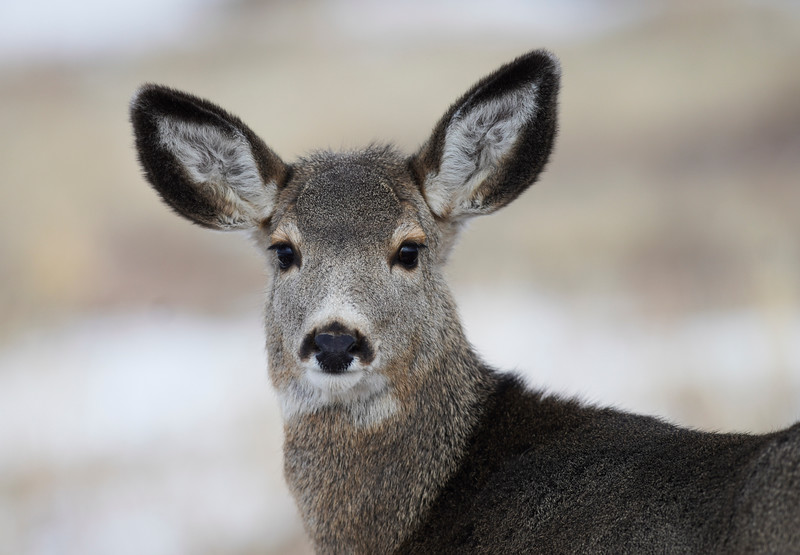 A doe looks up in alert Monday, Dec. 23, 2019 near Pine Grove. Nadav Soroker/Wyoming Tribune Eagle