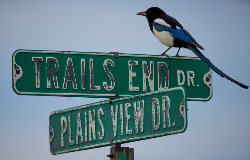 A black-billed magpie perches atop a road sign Monday, Dec. 23, 2019 near Pine Grove. Nadav Soroker/Wyoming Tribune Eagle