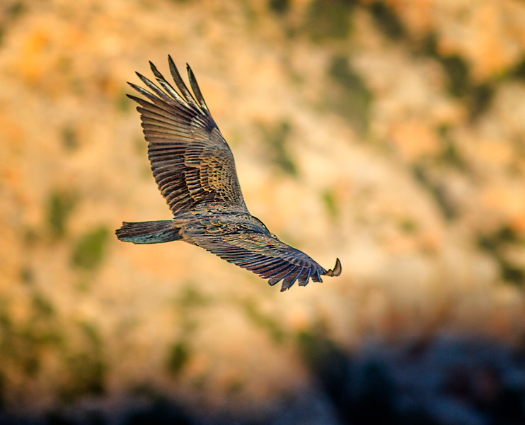 Soaring Over The Canyon