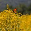 Orange Butterfly On Goldenrod