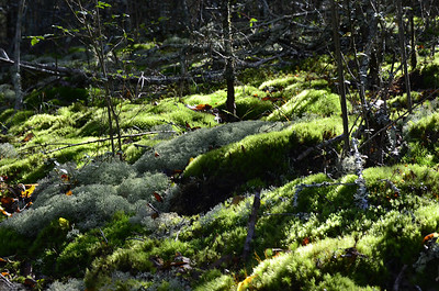 The light colored moss is Reindeer Moss/Graygreen reindeer lichen (Cladina ragiferina)
