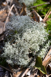Reindeer Moss/Graygreen reindeer lichen (Cladina ragiferina)