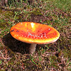 Fly Algaric -Amanita muscaria  taken at roadside near  Corgarff Castle