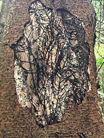 Honey Fungus on spruce