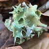 Foliose Lichens