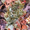 Most Colorful Lichen