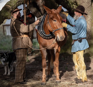 20181117_Liendo_Plantation_Civil_War_Weekend_Mule_Harnessing_750_9232