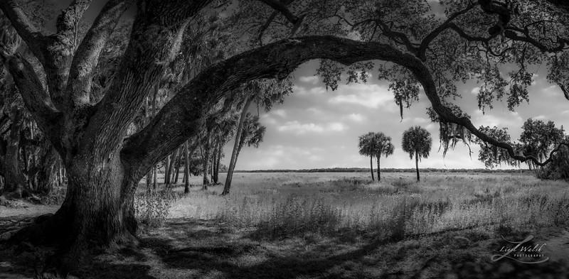 Clyde Butcher's Tree, Myakka River State Park, FL, BW