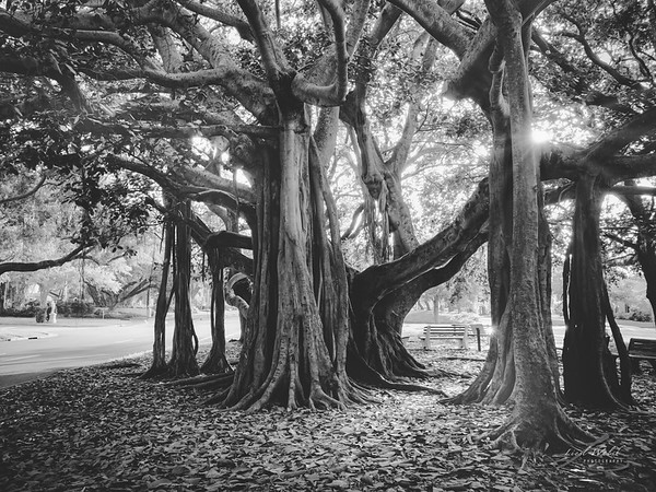 Banyan Trees in Heritage Park, Venice, Florida at Golden Hour BW