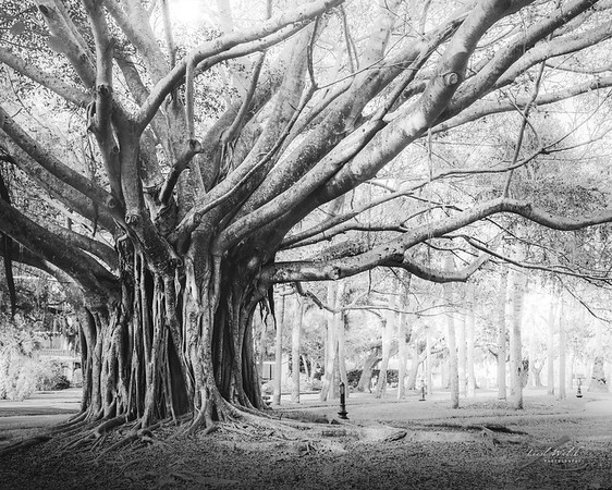 Heritage Park Banyan Tree, Venice, Florida, Black and White 3