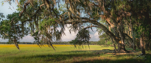 Oaks and Wildflowers at Myakka River State Park, FL