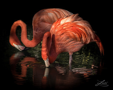 Flamingo Reflection 2