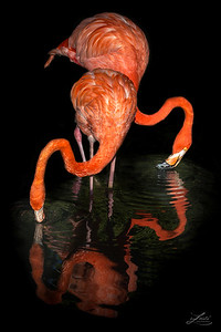 Graceful Pink Flamingos Moving In Water