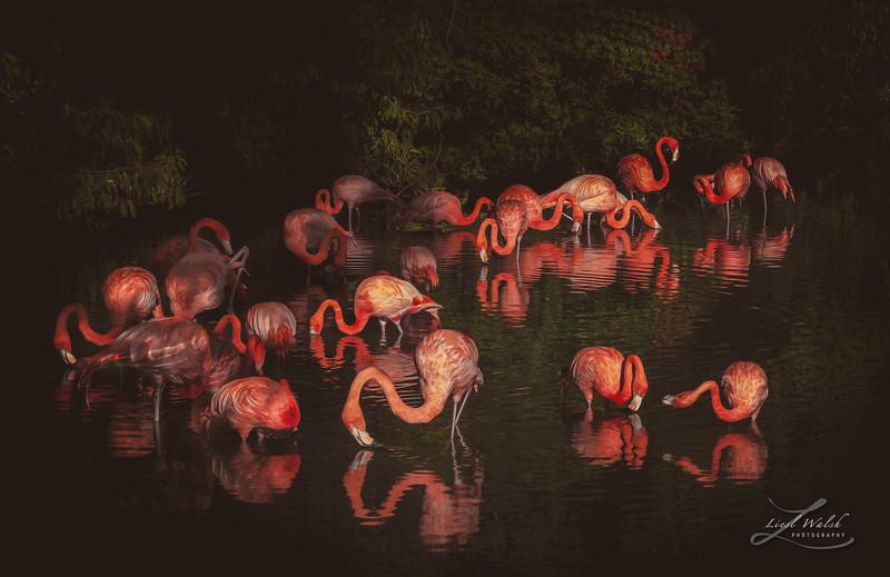 Lagoon of Pink Flamingos in Sarasota, Florida