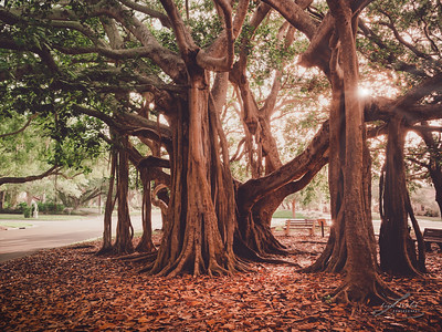 Banyan Trees in Heritage Park, Venice, Florida at Golden Hour