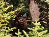 Orignal - Parc National de la Gaspésie
