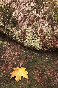 Feuille, lichen, roche et écorce - Parc national du mont Tremblant