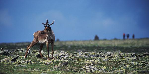 Caribou et marcheurs sur le mont Jacques-Cartier - Parc de la Gaspésie