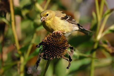 Chardonneret jaune - American Goldfinch(Carduelis tristis)