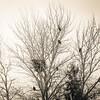Tree Full of Eagles