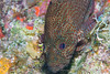 Belize Diving - Rock Hind (Epinephelus adscensionis)