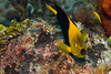 Belize Diving - Rock Beauty - (Holacanthus tricolor)
