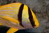 Belize Diving - Porkfish - (Anisotremus virginicus)