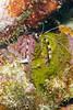 Banded Coral Shrimp (Stenopus hispidus) hiding in a coral crevasse